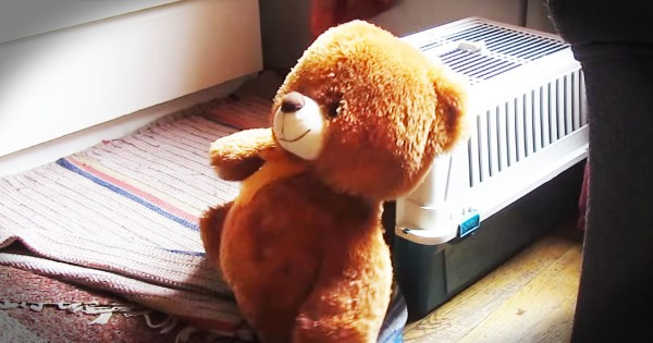 Little Dog Struggles To Get Big Teddy Bear Into His Crate