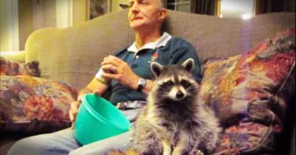 Tribute To Rescued Raccoon Named Loki