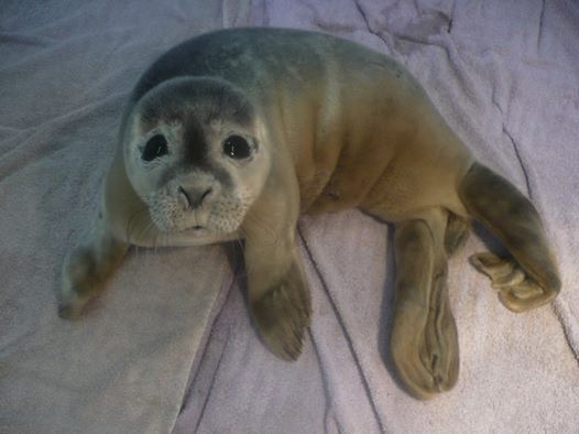 mj-godupdates-cows-find-baby-seal-in-mud-4