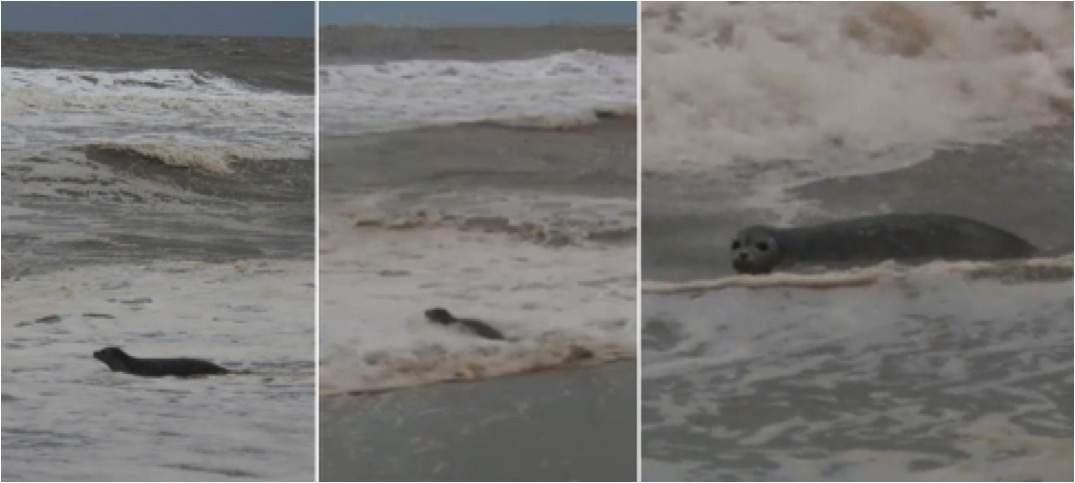 mj-godupdates-cows-find-baby-seal-in-mud-8