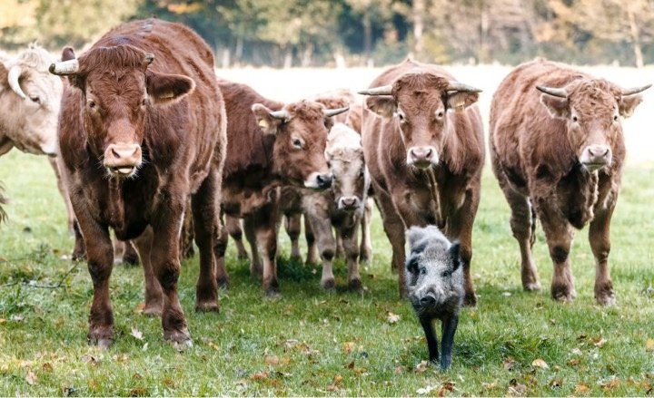 mj-godupdates-herd-of-cows-adopt-wild-boar-1