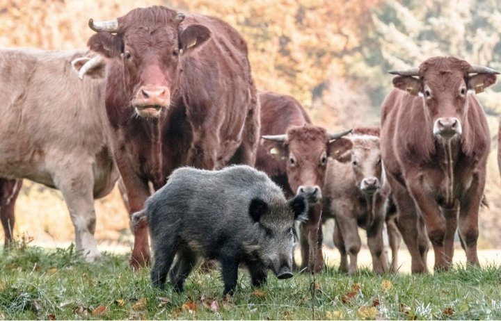 mj-godupdates-herd-of-cows-adopt-wild-boar-4