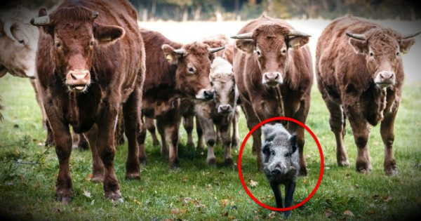 The Unlikely New Addition To This Herd Of Cows Is Too Sweet To Miss