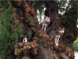 godupdates-abandoned-kitten-becomes-part-of-pack-of-huskies-10