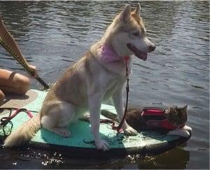 godupdates-abandoned-kitten-becomes-part-of-pack-of-huskies-11