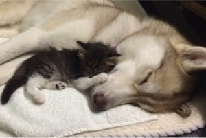 godupdates-abandoned-kitten-becomes-part-of-pack-of-huskies-2
