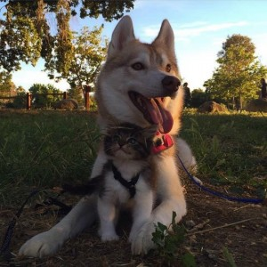 godupdates-abandoned-kitten-becomes-part-of-pack-of-huskies-3