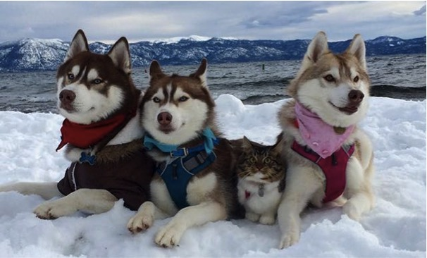godupdates-abandoned-kitten-becomes-part-of-pack-of-huskies-4