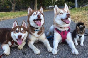 godupdates-abandoned-kitten-becomes-part-of-pack-of-huskies-5