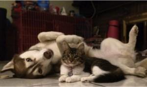 godupdates-abandoned-kitten-becomes-part-of-pack-of-huskies-6