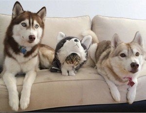godupdates-abandoned-kitten-becomes-part-of-pack-of-huskies-9