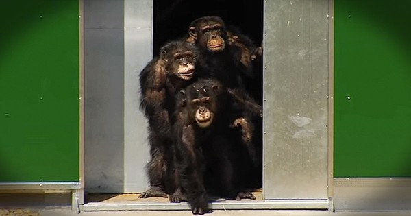Chimps Held in Captivity for Decades Play in the Sun for the First Time