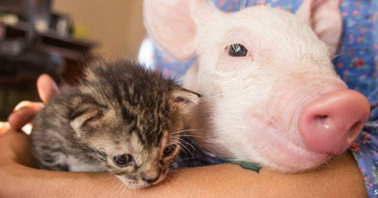 godupdates rescued kitten and piglet make unlikely pair 1