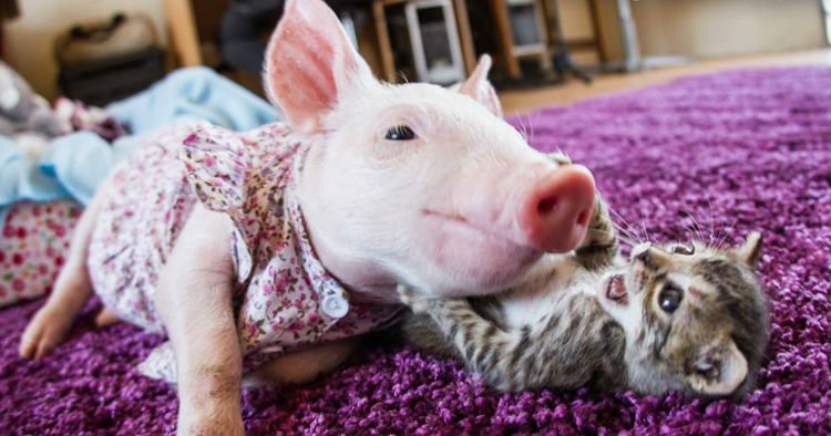 godupdates rescued kitten and piglet make unlikely pair 6