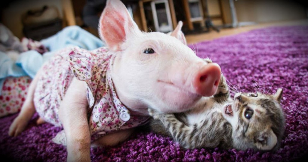 godupdates rescued kitten and piglet make unlikely pair fb