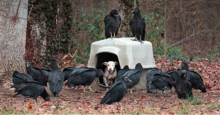 godupdates vultures surround neglected dog 1