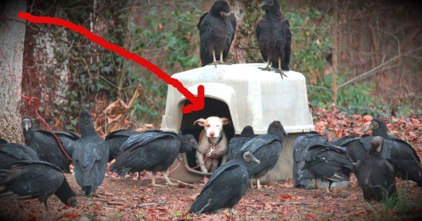 A Chained Dog Surrounded By Vultures Has Found A Loving Home