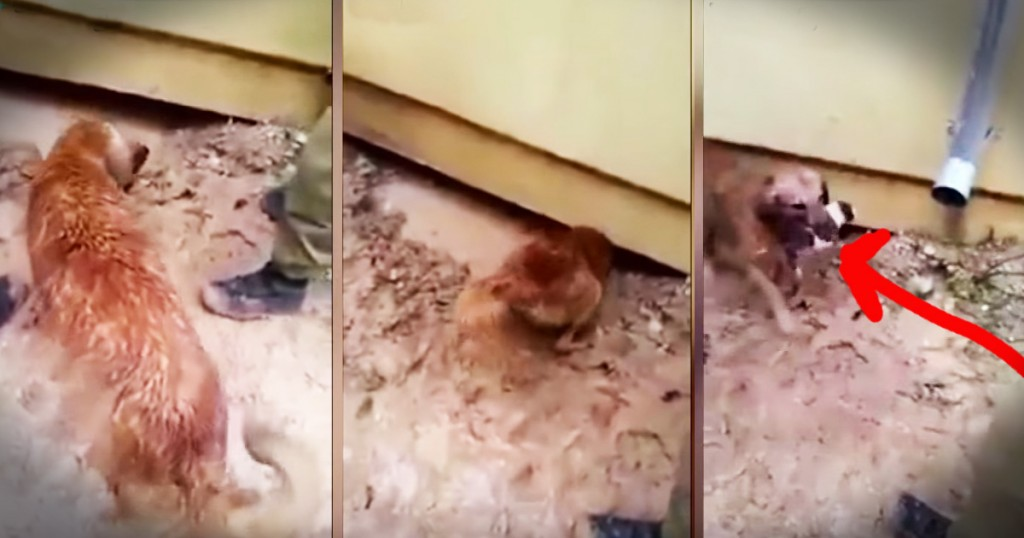 dog rescues her puppies from flood Godupdates