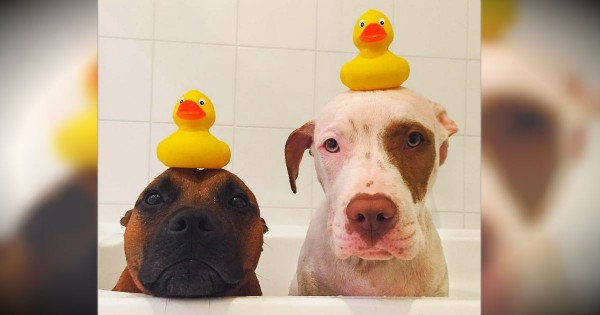 2 Dogs Traded Their Toy Ducks For 2 Real Ones And It's Awwdorable