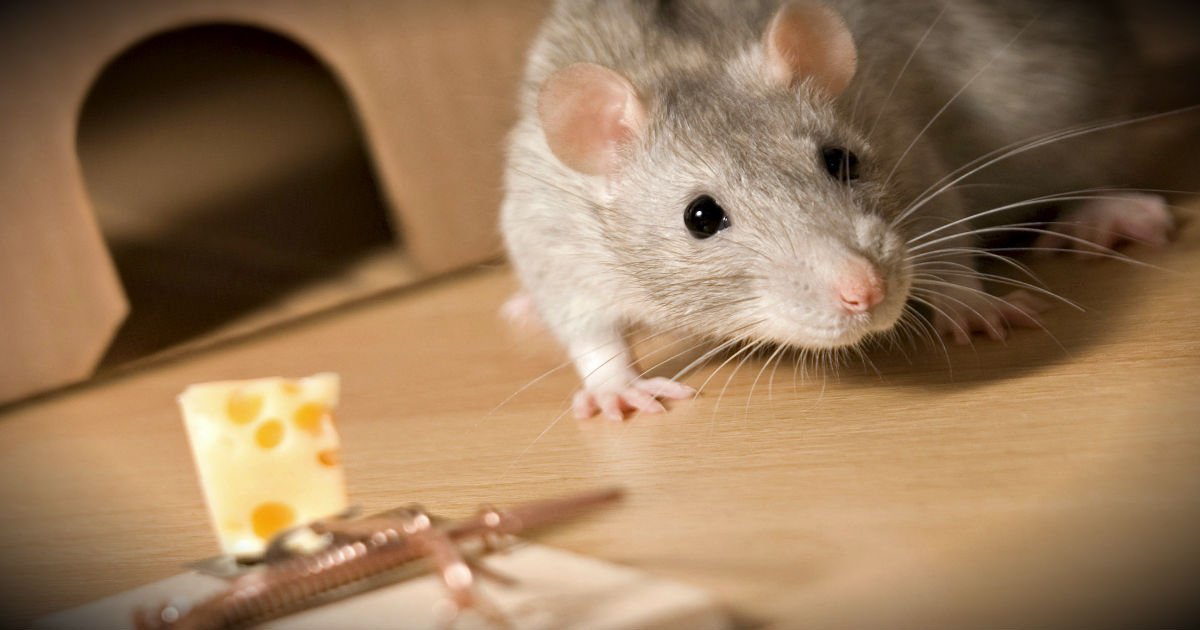 The Parable Of The Rat Trap Is About Much More Than A Rat