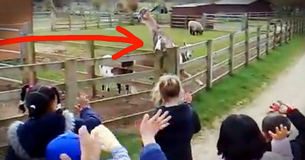 Goat Waves to Greet School Kids on Field Trip