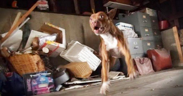 Scared Pit Bull Stops Shaking At Loving Touch When Rescued