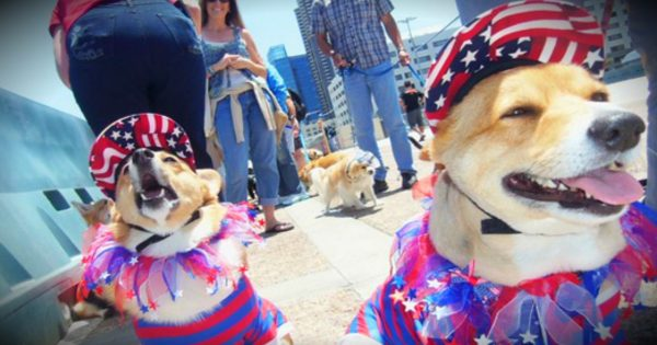 Corgi Cruise For Memorial Day Is Adorable And Patriotic