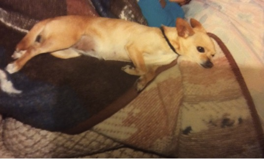 godupdates tiny chihuahua saves 2 family members 1