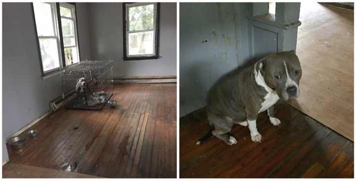 godupdates abandoned pit bulls left in vacant house by evicted owners 1