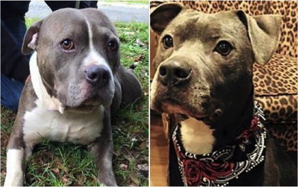 godupdates abandoned pit bulls left in vacant house by evicted owners 3