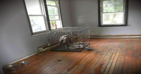 Abandoned Pit Bulls Left In House After Owners Are Evicted