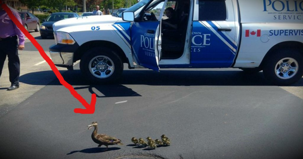 godupdates mama duck gets police escort every year fb