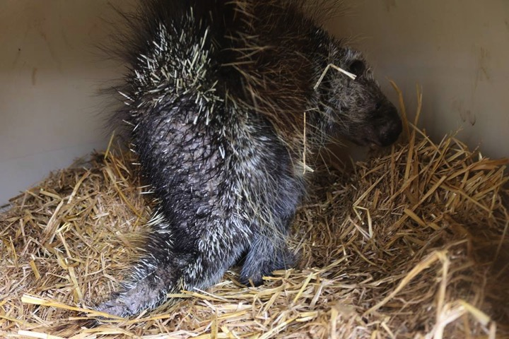 godupdates porcupine rescued after skin disease make quills fall out 1