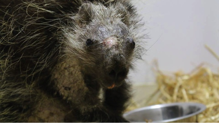 godupdates porcupine rescued after skin disease make quills fall out 3