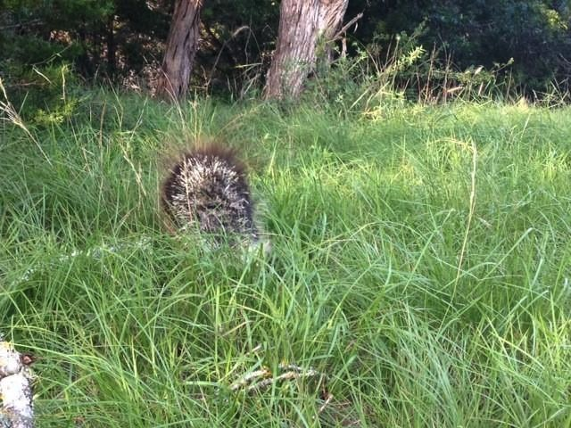godupdates porcupine rescued after skin disease make quills fall out 4
