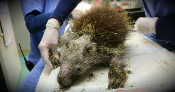 A Sick Porcupine Is Nearly Unrecognizable Before He's Rescued