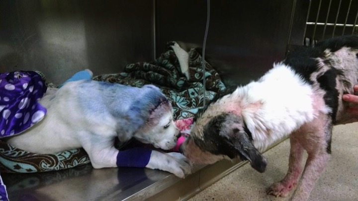 godupdates severely abused puppy comforted by fellow shelter dog 3