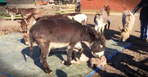 Donkeys Grieve Death of Friend Donkey
