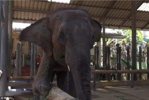 godupdates injured elephant mosha gets prosthetic leg 1