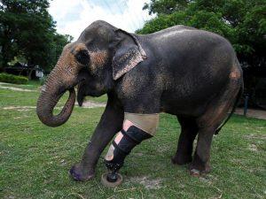 godupdates injured elephant mosha gets prosthetic leg 2