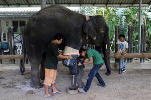 godupdates injured elephant mosha gets prosthetic leg 3