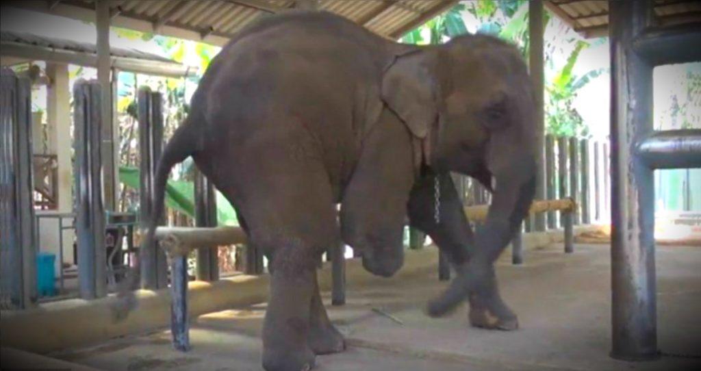 godupdates injured elephant mosha gets prosthetic leg fb2
