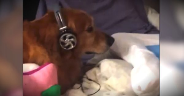 Dog Wearing Headphones: 3 Second Video Takes Internet By Storm