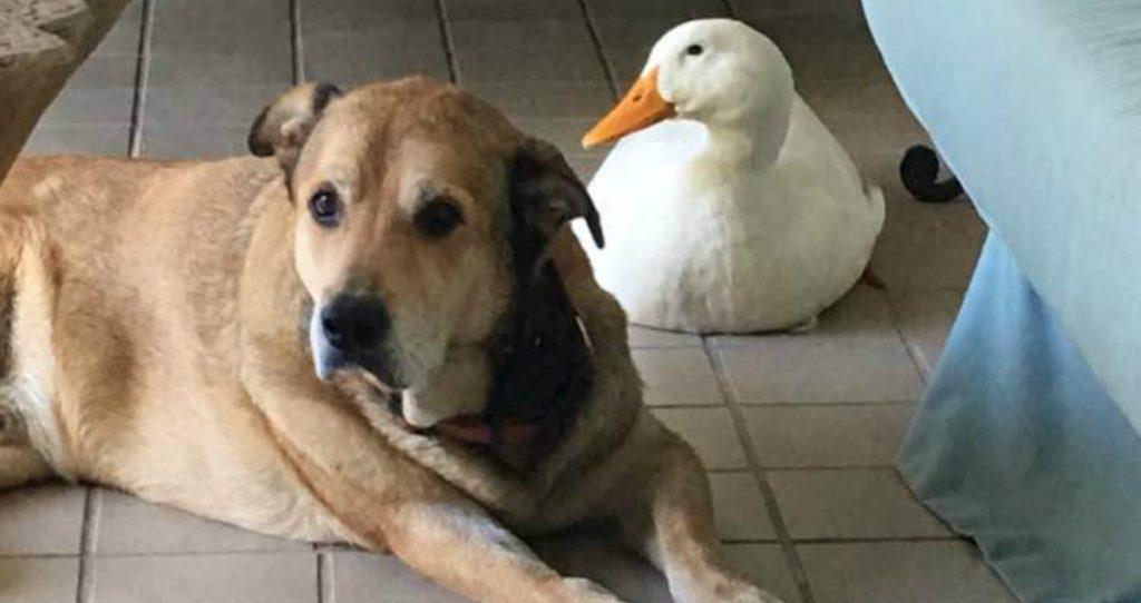 godupdates friendly duck helps mend a grieving dog's heart 1