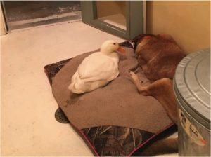 godupdates friendly duck helps mend a grieving dog's heart 2