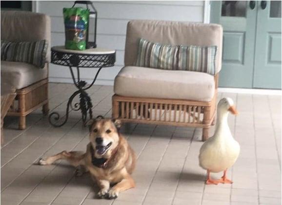 godupdates friendly duck helps mend a grieving dog's heart 3