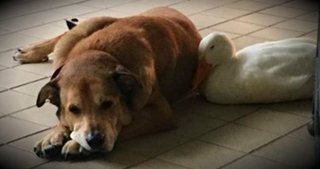 godupdates friendly duck helps mend a grieving dog's heart fb