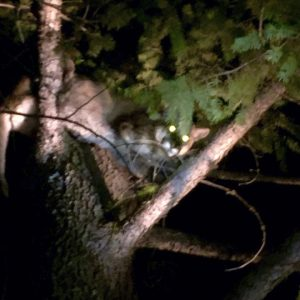godupdates mountain lion attack 4-year-old girl 1
