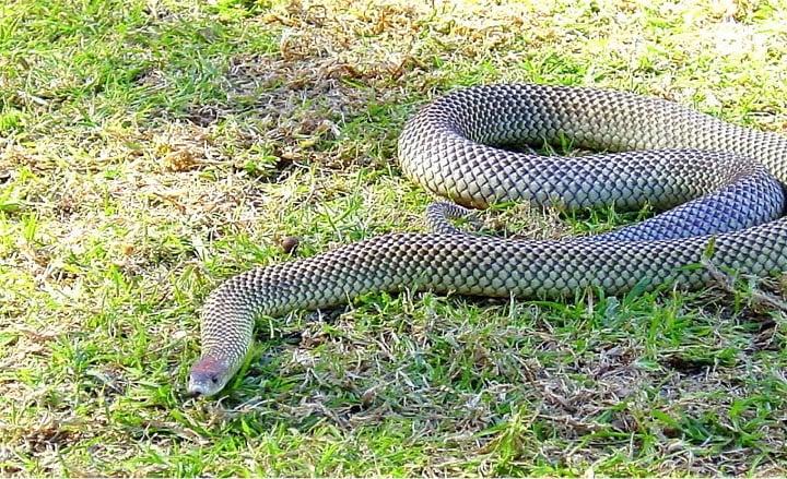 godupdates rescued doberman saves little girl from dangerous snake 2