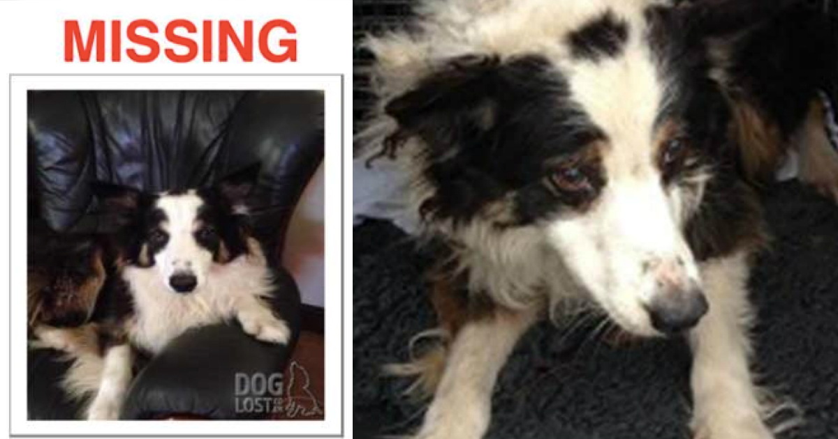 godupdates border collie spent 2 months roaming 50 milesto find owner FB
